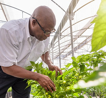 Farmer inspecting bell pepper plants in hydroponic farm greenhouse
